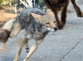 chased by dogs continually (passing in a blur)